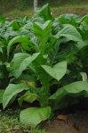 plant_de_tabac
